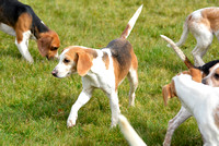 Joint Meet of The Oxford University Beagles and THe Oakley Foot Beagles at Illston 015